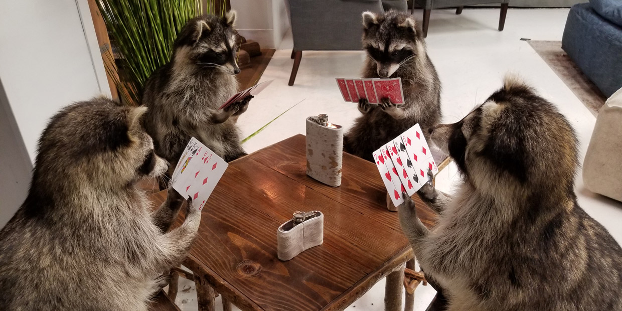 Raccoons playing cards